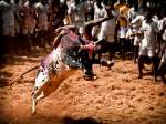 Jallikattu – The Festival of Bull-taming