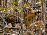 Things to Know About Pench National Park in Madhya Pradesh