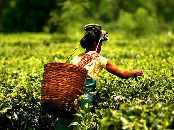 Four Best Tea Plantations States in India
