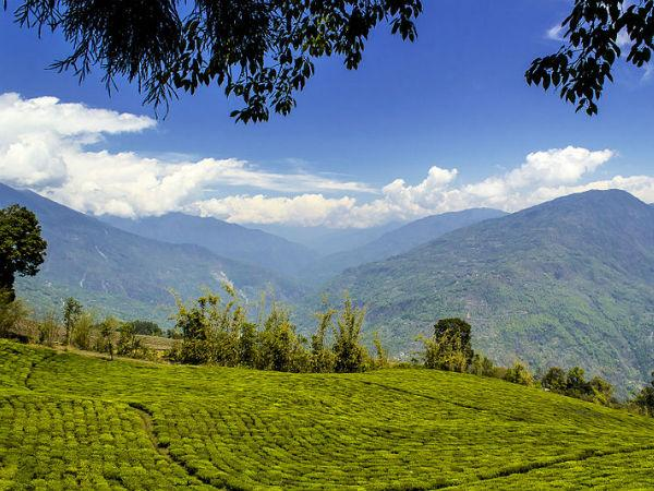 Tea Gardens in Sikkim