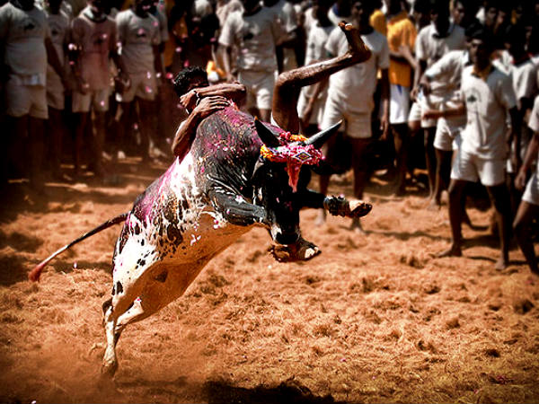 Jallikattu – The Festival of Bull-taming