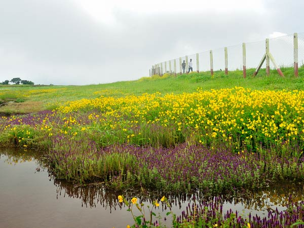 A Carpet of Wildflowers - Kaas Plateau, Maharashtra