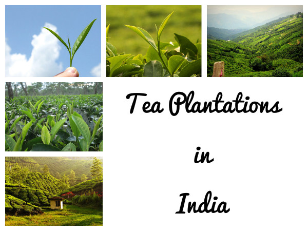 Travel to the 5 Best Tea Plantation Destinations in India