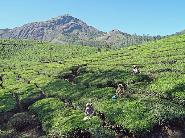 Tea and Spice Plantations