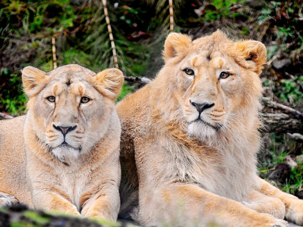 Asiatic Lions of Gir