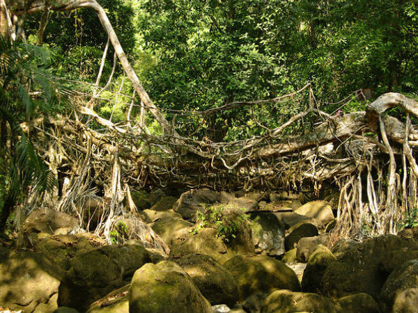 The Architects of Living Root Bridges