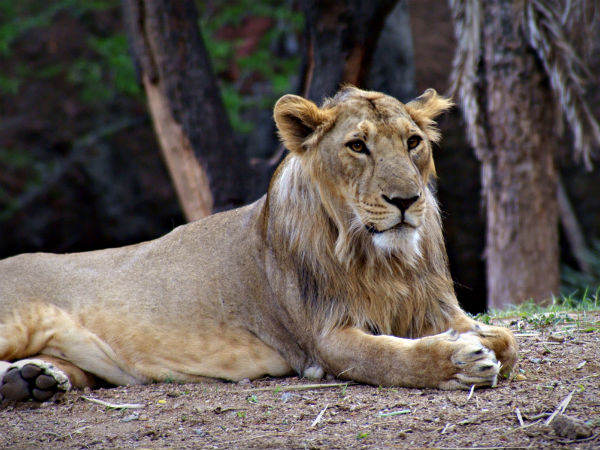 Hello Lions - All About Hyderabad Zoo - Nativeplanet