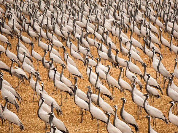Catch up with Cranes in Khichan