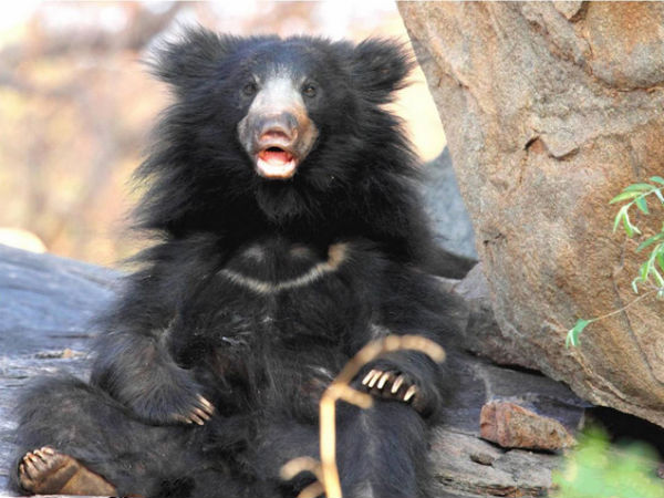 Top Bear Sanctuaries in India