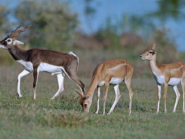 Five Blackbuck Sanctuaries In South India