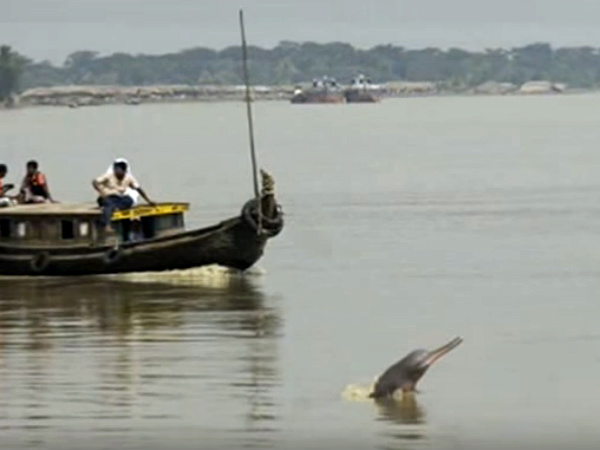 Gangetic River Dolphin