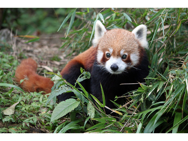 Red Panda – Singalila National Park