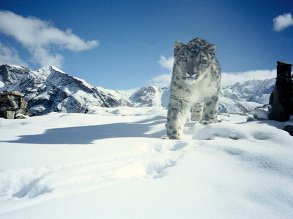 The Snow Leopard Sighting