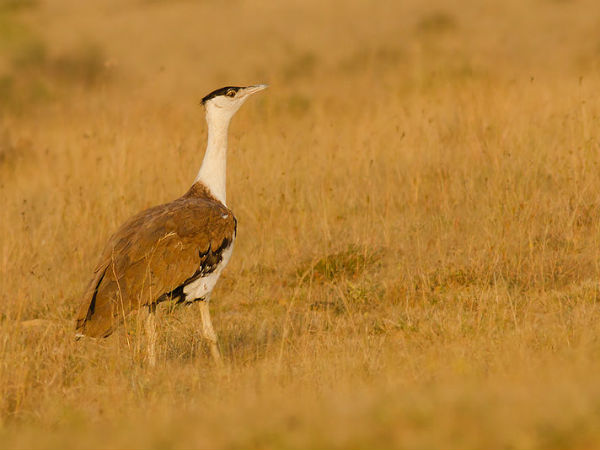1. Rajasthan For The Great Indian Bustard
