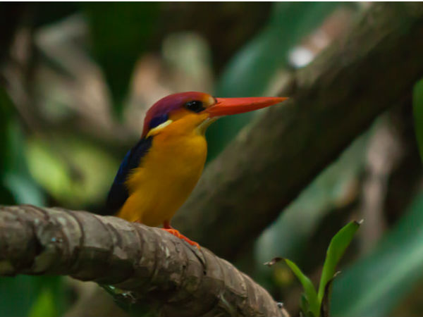 7. Maharashtra For Oriental Dwarf Kingfisher
