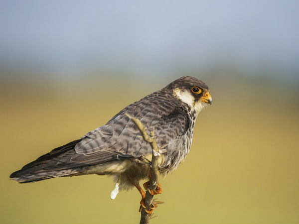 8. Nagaland For Amur Falcon