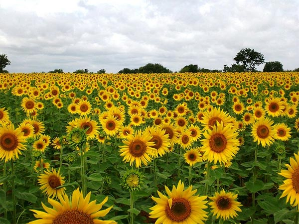 Sunflower Farms Of Gundlupet