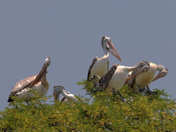 Kokkrebellur Bird Sanctuary