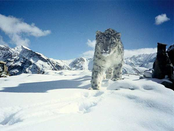 1. Snow Leopard In Ladakh