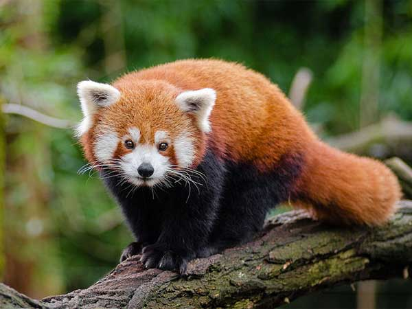 Red Panda In Arunachal Pradesh
