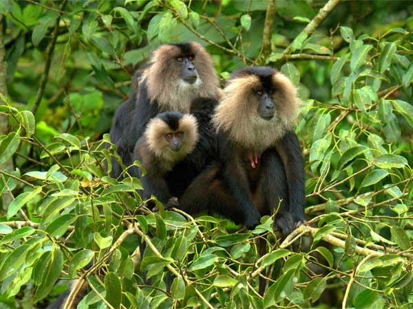 Lion-Tailed Macaque In Kerala