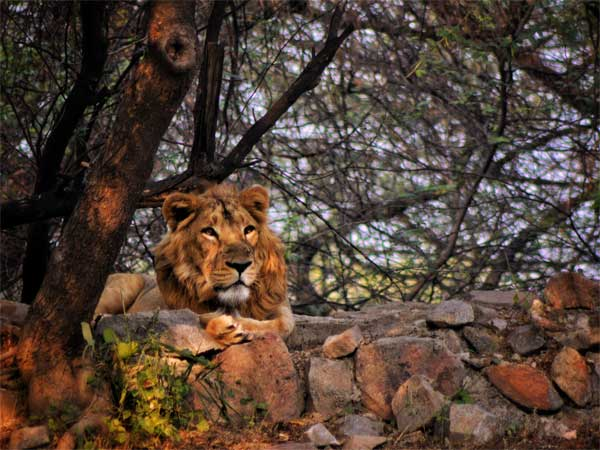 Asiatic Lion In Gujarat
