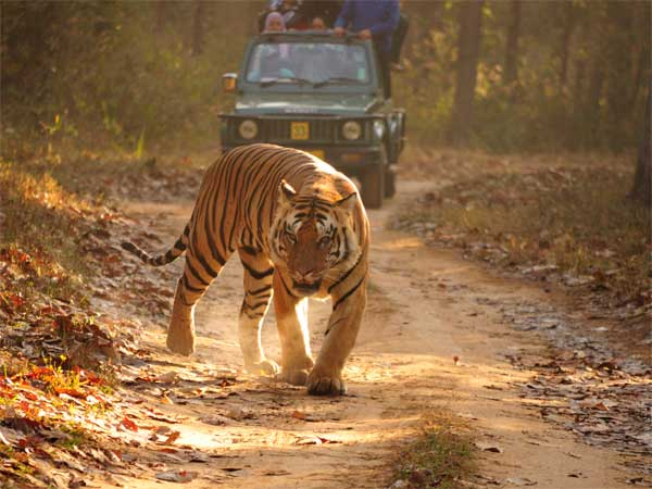 9. Royal Bengal Tiger In Madhya Pradesh