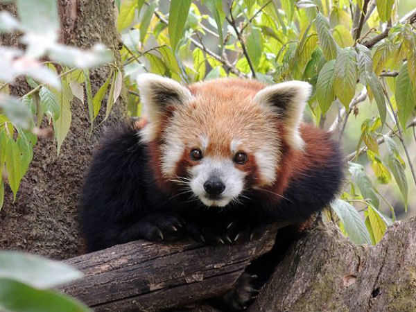 You Need To Visit This Zoo Of Cute Red Pandas In Darjeeling ASAP!