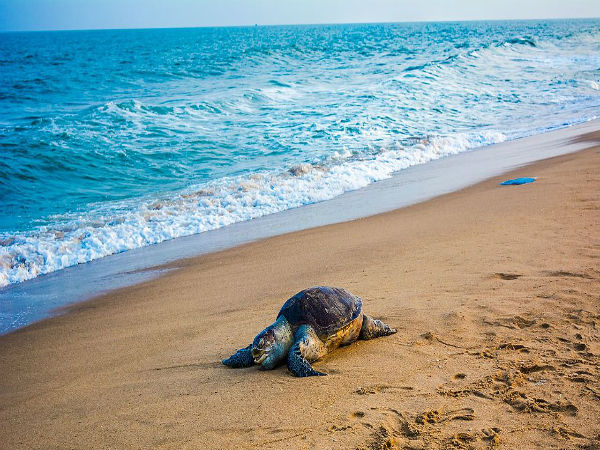 4. Visit Rushikulya for Olive Ridley Turtles