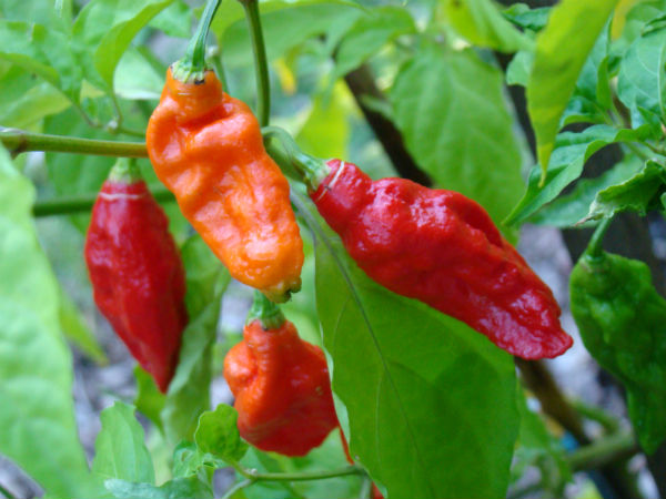 5. Take A Bite Of The World's Hottest Chilli