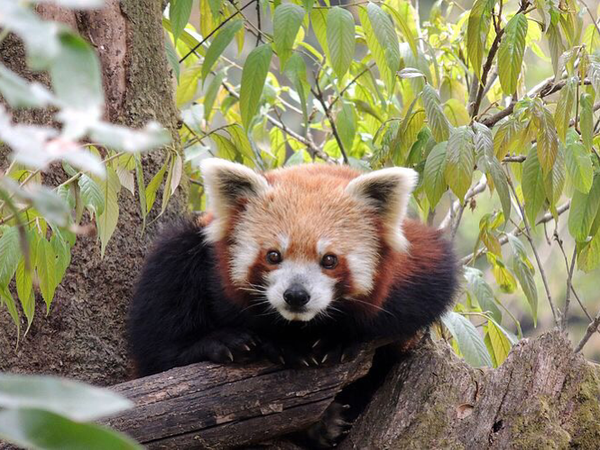Red Panda – Darjeeling Zoo