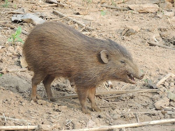 Pygmy Hog – Manas National Park