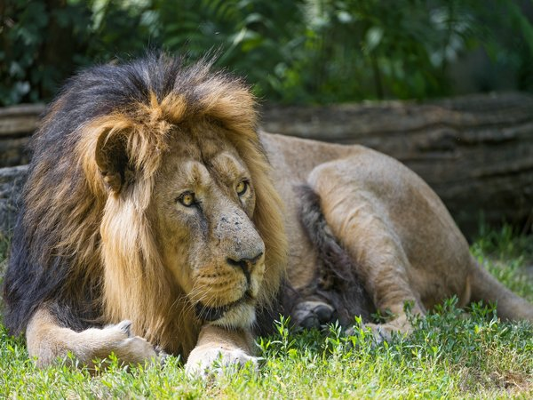 Asiatic Lion – Gir Forest National Park