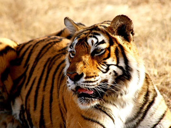 Spot Royal Bengal Tigers At Sundarbans