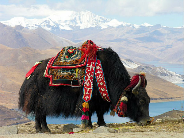 Enjoy Yak Safaris
