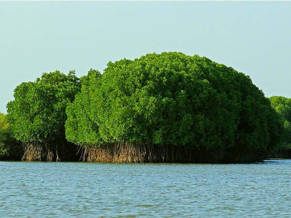 Mangrove Forests Of Pichavaram