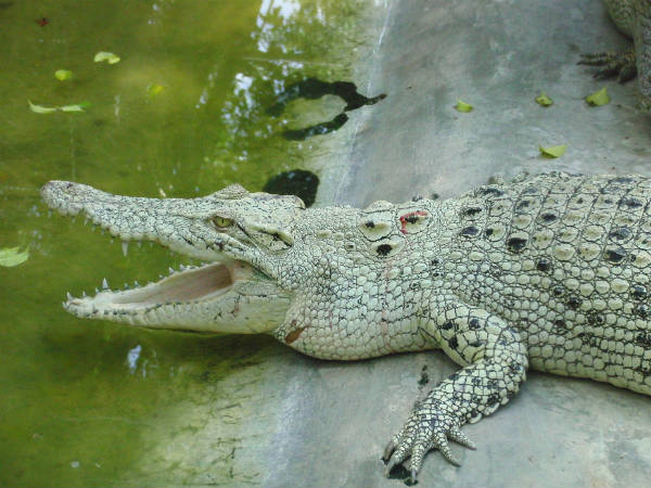 4) The Only Place With White Crocodiles