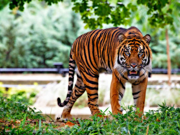 3) The Tiger Capital Of India
