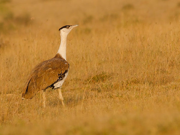 9) Great Indian Bustard Sanctuary: