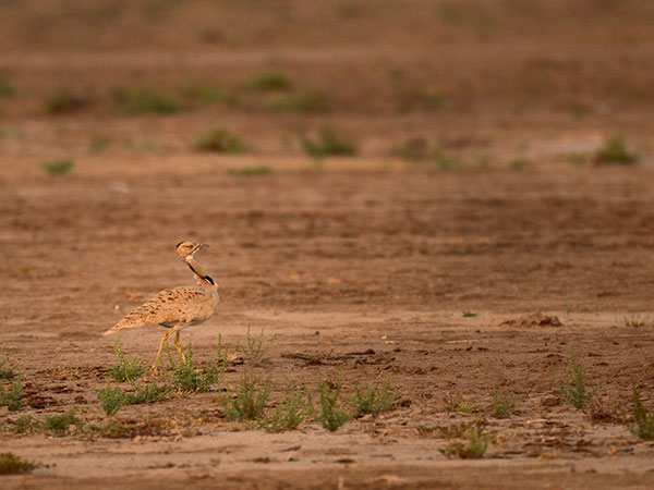 8) Kutch Bustard Sanctuary, Kutch District
