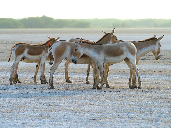 4) Wild Ass Wildlife Sanctuary, Little Rann of Kutch