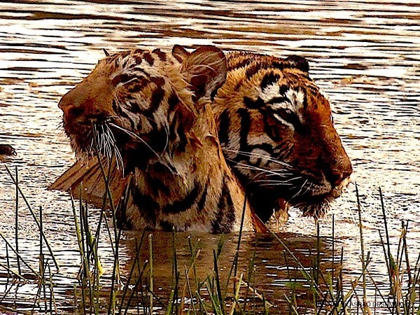 Producer Deepshikha Deshmukh shares stunning wildlife images from Tadoba-Andhari National Park