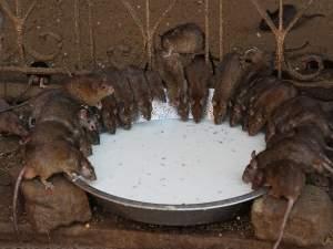 Rats Worshipped At Karni Mata Temple!