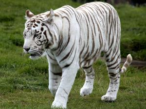 Expedition To Rewa Worlds First White Tiger Sanctuary