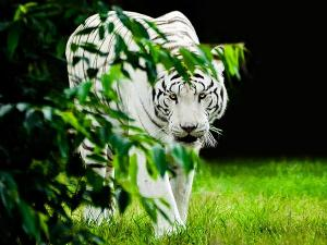 Travel To These Places If You Desire To Spot White Tigers