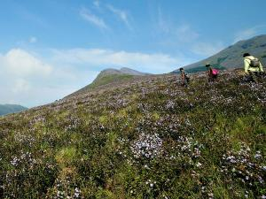 The Rare Neelakurinji Flowers Are Set To Veil In Munnar