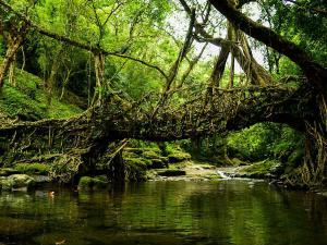 Places Where You Can Spot Living Root Bridges In India