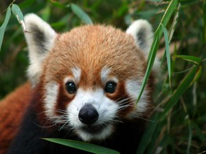 Where To Find The Mysterious Red Panda In India