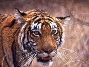 Witness The Royal Bengal Tigers At Ranthambore
