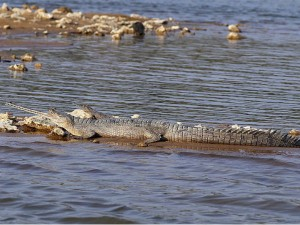Into The Badlands Of Imperiled Gharials And Red Rooftop Turtles Chambal Wildlife Sanctuary